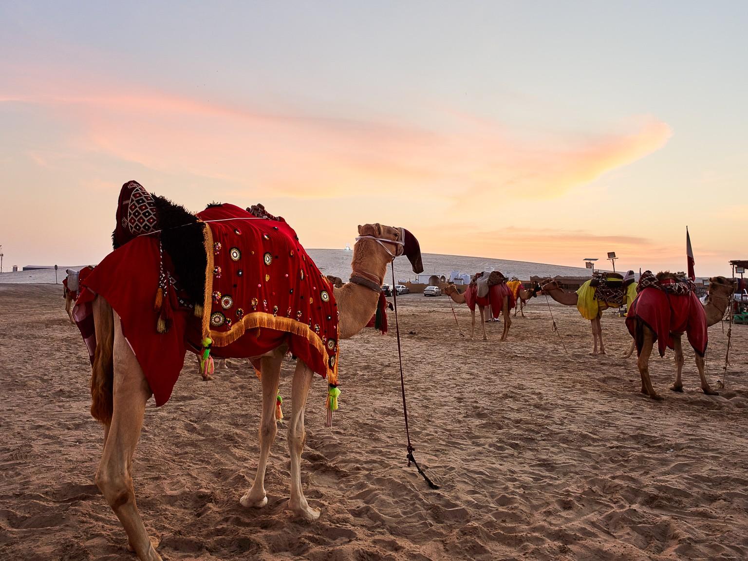 Camels at Sealine Beach, Qatar